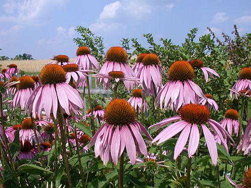 Andechser Kräutergarten - Foto Echinacea - Sonnenhut
