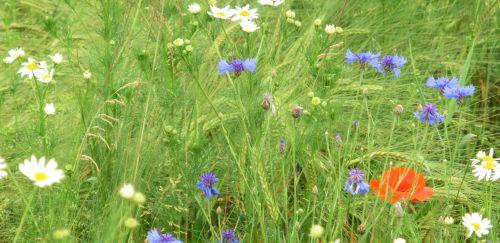 Wildblumen Ammersee